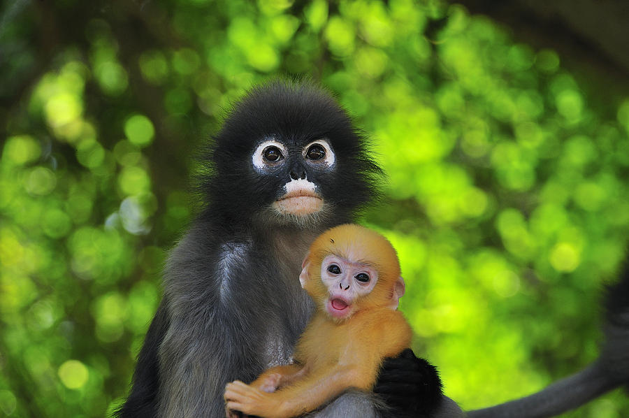 Kang Waen or Dusky Leaf Monkey and yellow baby