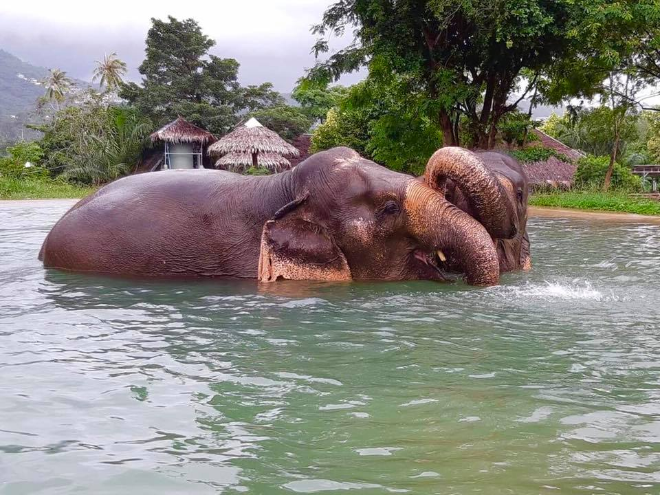 elephant-sanctuary-koh-samui-in-pool