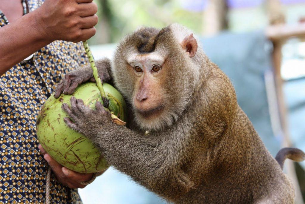 monkey-coconut-Koh-Samui